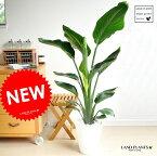 new!! オーガスタ アジアングリーン 白セラアート鉢に植えた ストレリチア・ニコライ 美しい樹形♪ 天国の白い鳥 敬老の日 ポイント消化 観葉植物