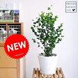 new!! ベンジャミン・バロック 白色デザイン陶器鉢に植えた フィカス・ベンジャミナ ベンジャミンバロック【母の日ギフト】