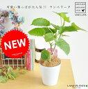 ハートの形の可愛い葉っぱが特徴です。[ハートリーフ][人気の植物][卓上サイズ植物][カウンター...