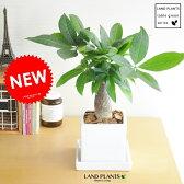 パキラ 白色シンプルスクエア陶器の 幹太パキラ M鉢 発財樹 お金の木 お金を生み出す樹 敬老の日 ポイント消化 観葉植物