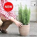 ローズマリー デザインの良い テラコッタ鉢 鉢植え 立性 苗 苗木 ロ...