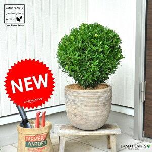 【数量限定】NEW!!ボックスウッド(ウインタージェム)のトピアリーデザインの良いテラコッタ鉢の鉢植え西洋ツゲセイヨウツゲ柘植西洋柘植
