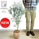 ALL-NEW!! ユーカリ デザインの良いテラコッタの 鉢植え ユーカリの木 ユーカリプタス フトモモ 【バルコニスト 推奨item】 グニー グラウケッセンス 敬老の日 ポイント消化 観葉植物