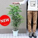 【 庭木 】【オススメ】 シマトネリコ 7号サイズ 白色プラスチック鉢...