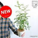 【お試しサイズ】 シマトネリコ 白色プラスチックカバーセット 4号サイズ トネリコ苗木 バルコニスト【父の日ギフト】 敬老の日 ポイント消化 観葉植物