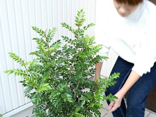 茂りの良いトネリコをお届けします!