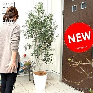 オリーブ10号白色セラーアート鉢大型尺尺鉢鉢植え苗苗木オリーブ苗オリーブの木オリーブの樹観葉植物植木ココヤシファイバーヤシ繊維