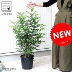 シマトネリコ (株立ち) 樹高 約1.0m 鉢植え トネリコ 8号 苗 苗木 鉢 黒 ブラック プラスチック 大型 丸 観葉植物 庭木