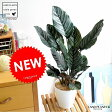 Re:NEW!! カラテア オルナータ 白色鉢カバーセット 美しい葉の植物 サンデリアーナ 受け皿付き カラテアオルナタ 敬老の日 ポイント消化 観葉植物