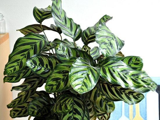 カラテア(マコヤナ)白色セラアート鉢8号美しい葉の植物ゴシキヤバネショウマコヤーナカラーリーフ敬老の日ポイント消化観葉植物