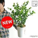 ベンジャミン(バロック) 白色 プラスチック鉢 5号 table green series フィカス・ベンジャミナ ベンジャミンバロック 敬老の日 ポイント消化 観葉植物