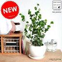ベンジャミン(バロック) 白色 丸型 陶器鉢 ベンジャミナ ベンジャミンバロック ゴム ゴムの木 ゴムノキ 敬老の日 ポイント消化 観葉植物