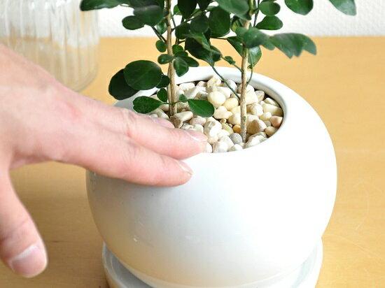 new!!シルクジャスミン白色丸型陶器鉢に植えた良い香りの花が咲くゲッキツジャスミン