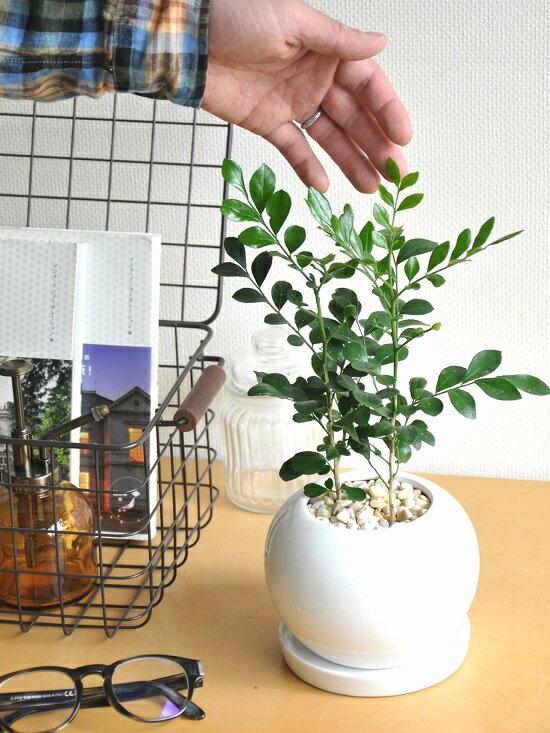 【観葉植物】シルクジャスミン白色丸型陶器鉢に植えたゲッキツ