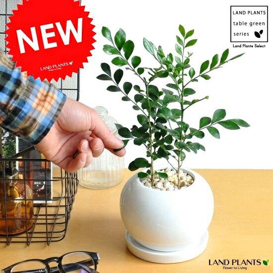 Re:NEW!!シルクジャスミン白色丸型陶器鉢に植えた良い香りの花が咲くゲッキツジャスミン月橘イヌツゲコスメティックバーク血行促進【母の日ギフト】オレンジジャスミン