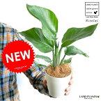 【お試しサイズ】 NEW!! オーガスタ 卓上サイズの 4号白色プラスチック鉢セット ストレリチア・ニコライ ストレチア・天国の白い鳥 敬老の日 ポイント消化 観葉植物