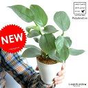 【お試し】 フィロデンドロン(シルバーメタル) 白色 プラスチック鉢 4号 ツル性の植物 ポトス 敬老の日 ポイント消化 観葉植物