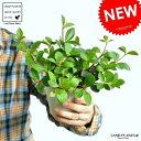 【お試し】 ペペロミア(フォレット) 白色 プラスチック鉢 4号 観葉植物 鉢植え 鉢 苗 苗木白 ホワイト 丸 ラウンド
