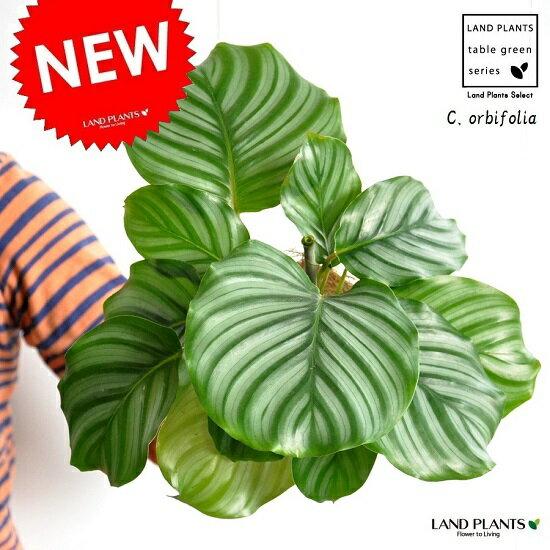 【お試し】 カラテア(オルビフォリア) 白色 プラスチック鉢 4号  Calathea orbifolia クズウコン 敬老の日 ポイント消化 観葉植物
