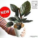 【お試しサイズ】 NEW!! カラテア サンデリアーナ 白色プラスチック鉢セット 4号サイズ オルナータ Calathea クズウコン 敬老の日 ポイント消化 観葉植物