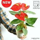 【お試しサイズ】 NEW!! アンスリューム 真赤な花付き ...