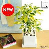 New!! 美しい葉色 斑入りカポック 白色スクエア陶器鉢に植えた シェフレラ バリエガータ 敬老の日 ポイント消化 観葉植物