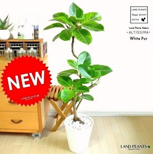 NEW!! アルテシーマ 曲がり 3Dカーブ 白セラアート鉢に植えた バリエガータ こだわり樹形 ...