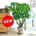 NEW!! モンステラ 茶色エッグポットに植えた H100cm程度 デ...