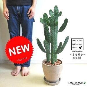 new!!サボテン墨烏帽子茶色エッグポット植えたウチワサボテン多肉植物スミエボシ