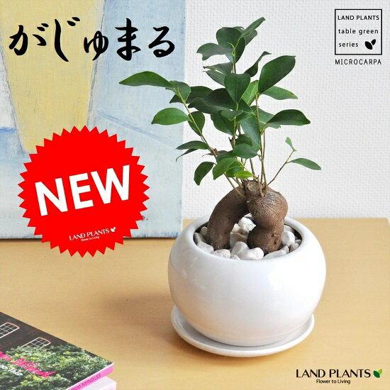 『大人気観葉植物ガジュマル!流行の理由は?育てやすさと・可愛い見た目』
