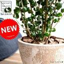ベンジャミン (バロック) エッグラウンド 陶器鉢 茶色 8号 鉢植え 鉢 苗 苗木 大型 観葉植物 茶 ブラウン 砂色 ベージュ ラウンド 丸 送料無料