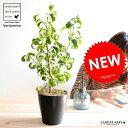 【お試し】 ベンジャミン (シタシオン) 黒色 プラスチック鉢 4号 斑入り バロック 鉢植え 鉢 苗 苗木 観葉植物 黒 ブラック 丸 ラウンド
