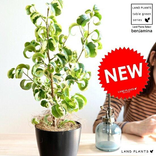 ベンジャミン (シタシオン) 黒色 プラスチック鉢 4号 斑入り バロック 鉢植え 鉢 苗 苗木 観葉植物 黒 ブラック 丸 ラウンドの写真