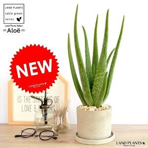 アロエ (ベラ) セメント シリンダー型 陶器鉢 アロエベラ 鉢植え 鉢 苗 苗木 観葉植物 送料無料 灰色 灰 グレー ねずみ 丸 ラウンド