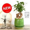 ガジュマル(幹太タイプ) 緑色 風合いある 陶器鉢 鉢植え 鉢 苗 苗木 植木鉢 観葉植物 緑 グリーン 丸 ラウンド 送料無料