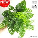 New!! マドカズラ 卓上サイズ・特徴のある葉の形 モンステラ 7号サイズ フリードリヒスターリー ホウライショウ属 敬老の日 ポイント消化 観葉植物 送料無料