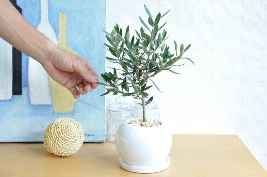 乾燥に強い植物なので、長期の旅行でもヘッチャラです♪