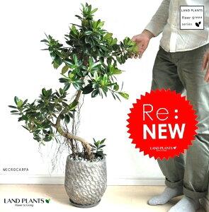 【観葉植物】デザインポットに植えた曲がりガジュマル