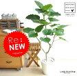 Re:New!! ハートリーフ ウンベラータ 白セラアート鉢に植えた フィカス・ウンベラータ 美しい樹形♪ お引越し祝いに大人気 割れない ウランベータ 日傘 ウエルカムディスプレー ゴムノキ ゴムの木 ウンベラーダ