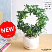【数に限りあり】 NEW!! シュガーバイン リング仕立て 白色大丸型陶器鉢に植えた 5枚葉の美しい植物 パルテノシッサス【母の日ギフト】