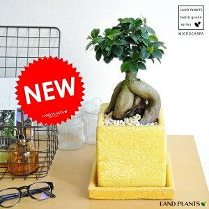جديد !! Gajumaru (أصفر) وعاء ألوان متداخل شجرة بانيان بانيان تري المزروعة في فخار رارا iuvant [Giff _Messe] [Giff _Messe الإدخال] جزر الجزر بنيان بانيان بانيان مالينجو