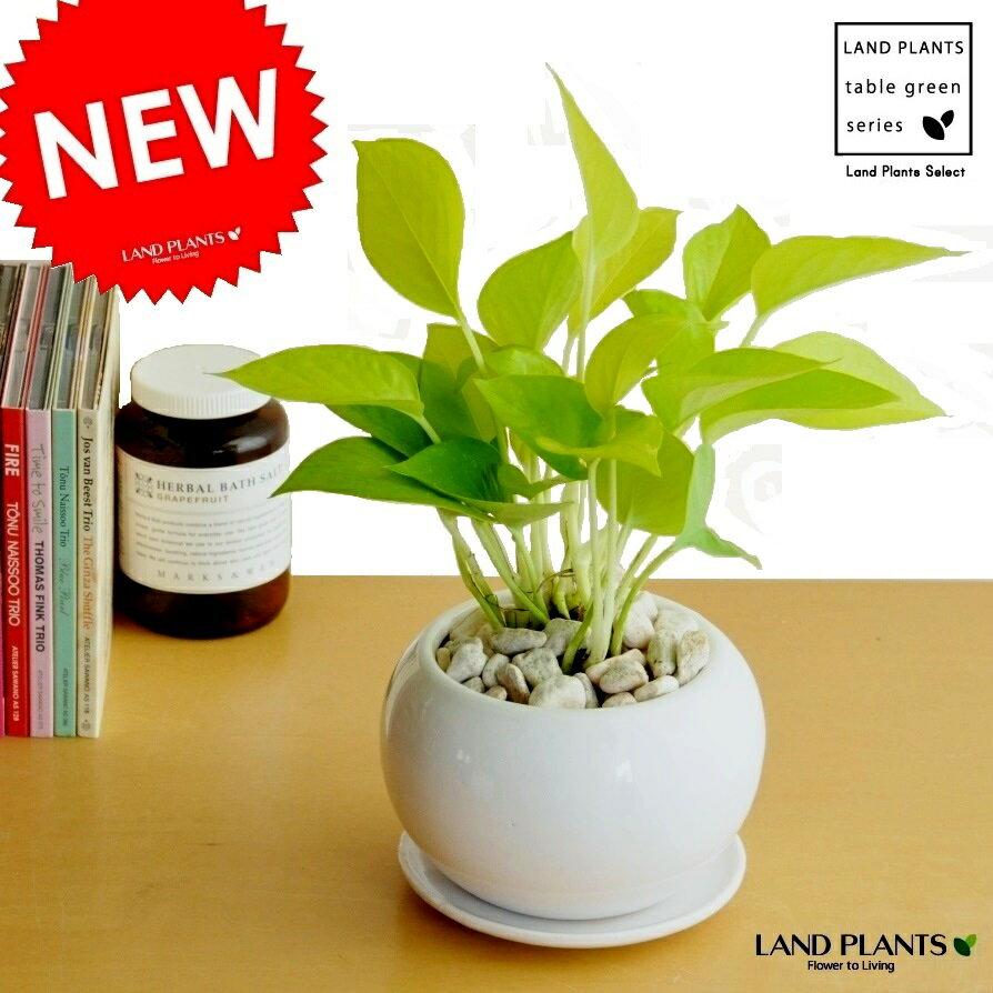 ポトス(ライム) 白色 丸型 陶器鉢 鉢植え 鉢 陶器 苗 苗木 観葉植物 オウゴンカズラ 白 ホワイト 丸 ラウンド ボール 送料無料 ライムポトス