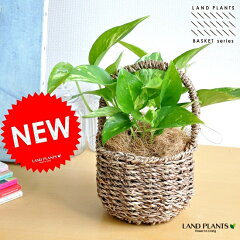 ポトス 可愛いバスケットセットの オウゴンカズラ つる性の植物ポトス