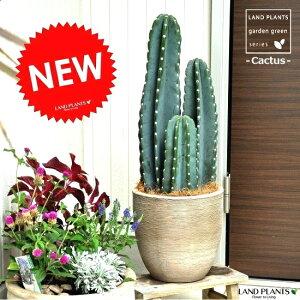 【観葉植物】柱サボテンデザインの良いテラコッタ鉢の鉢植えサボテンセレウス