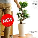 Re:NEW!! ガジュマル 盆栽仕立て曲がり樹形白色トールポットに植えた 美しいガジュマル 盆栽 人参 ニンジンガジュマル ガジュマロ カジュマル 敬老の日 ポイント消化 観葉植物