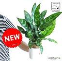 アグラオネマ (マリア) 白色 プラスチック鉢 4号 アグラオネママリア コンムタツム【父の日ギフト】 敬老の日 ポイント消化 観葉植物