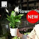 【元気な苗が再入荷!】【お試しサイズ】 スパティフィラム 白の美しい花を咲かせる観葉植物 table green series Spathiphyllum ..