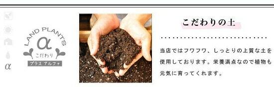 オリーブ白色丸型陶器に植えた卓上サイズのオリーブtablegreenseries