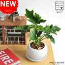 【 観葉植物 】【SALE】 セローム 白色丸型陶器に植えた table green series  ...