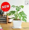 【 観葉植物 】 ヒメモンステラ 質感の良い白色台形陶器鉢に かわいい...